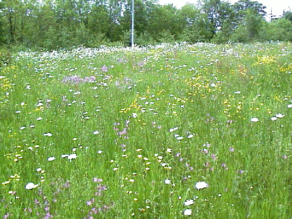 Grass and wildflower mixtures management and maintenance for Grass flower